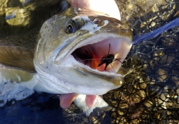 Cicada time with New Zealand Fly Fishing Guide, Tony Entwistle.