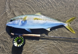 Southern Yellowtail Kingfish saltwater fly fishing with New Zealand Fly Fishing Guide, Tony Entwistle.