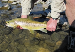 Beautiful Wild Brown Trout NZL