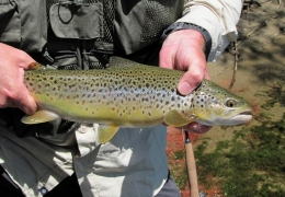 Small Brown Trout NZL