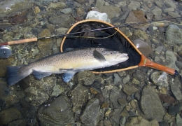 Ten and a half pound trophy brown trout NZL