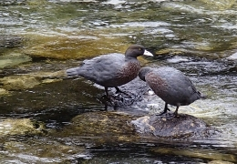 Mountain Blue Ducks