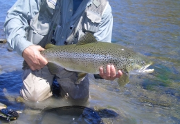 Prime Sea Run Brown Trout