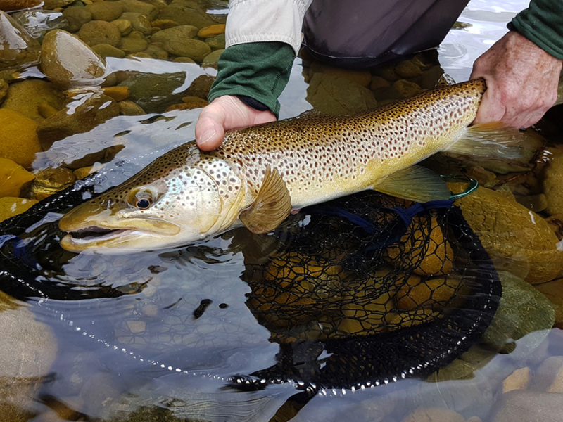 Male Brown Trout