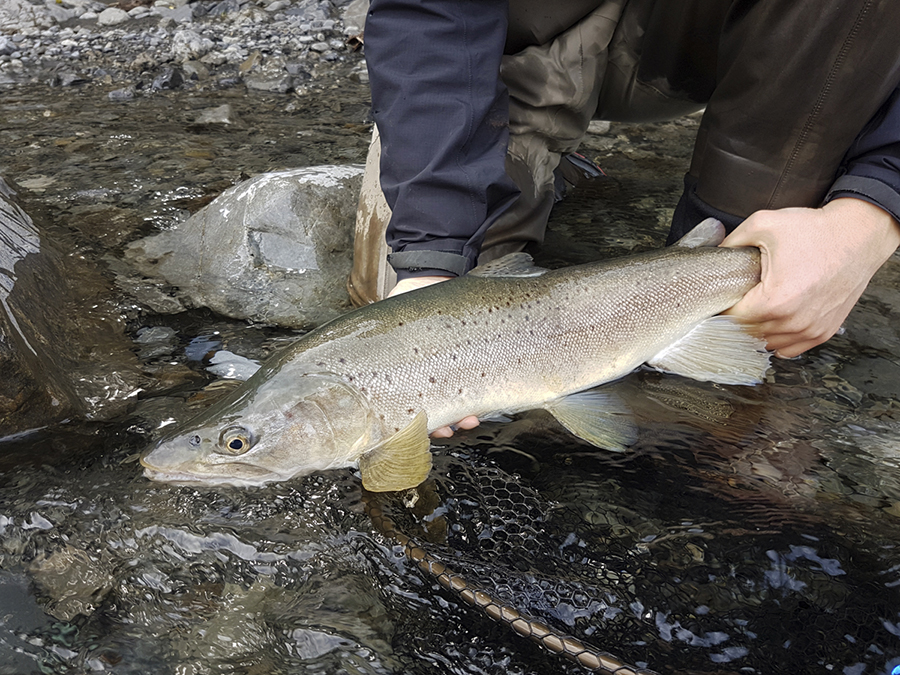 Wild New Zealand Brown Trout