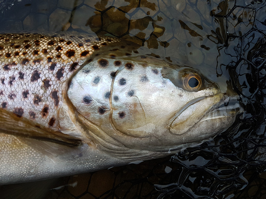 Closeup New Zealand Brown Trout